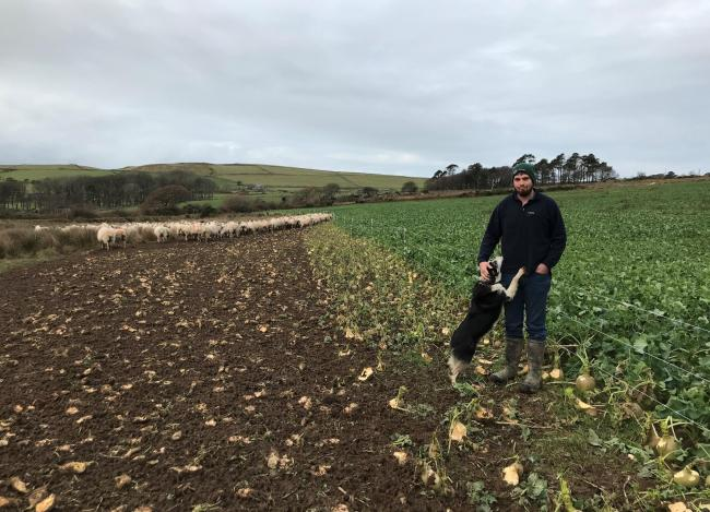 Stoc+ project farmer Rhun Davies of Cae Du using brassicas to outwinter his flock