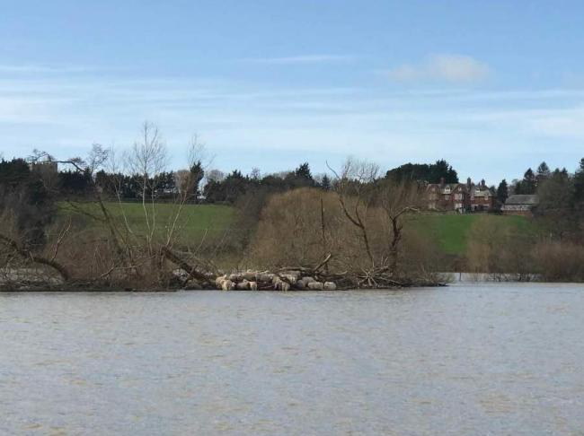 The sheep are surrounded by rushing flood water on an island near St Asaph. Picture: RSPCA