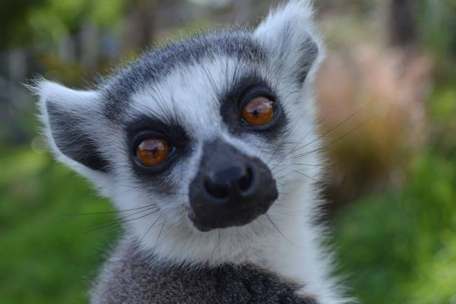 Ring Tailed Lemur at the Welsh Mountain Zoo