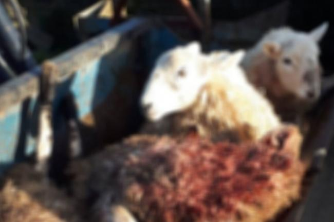 Four sheep were killed and two injured. Note the photo has been cropped and blurred. Picture: Rural Crime Team