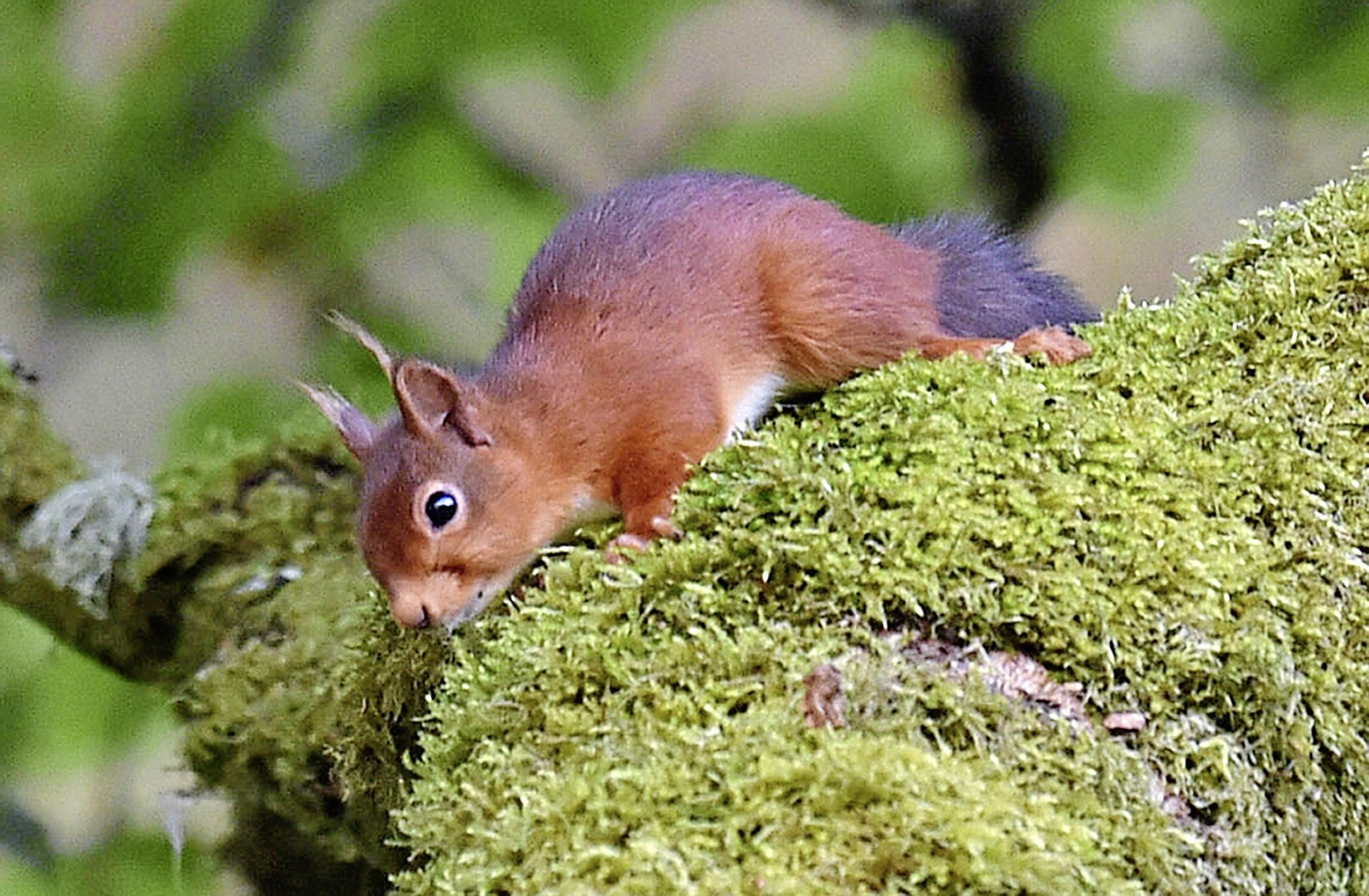 Denbighshire's Clocaenog Forest providing safe haven for red squirrels