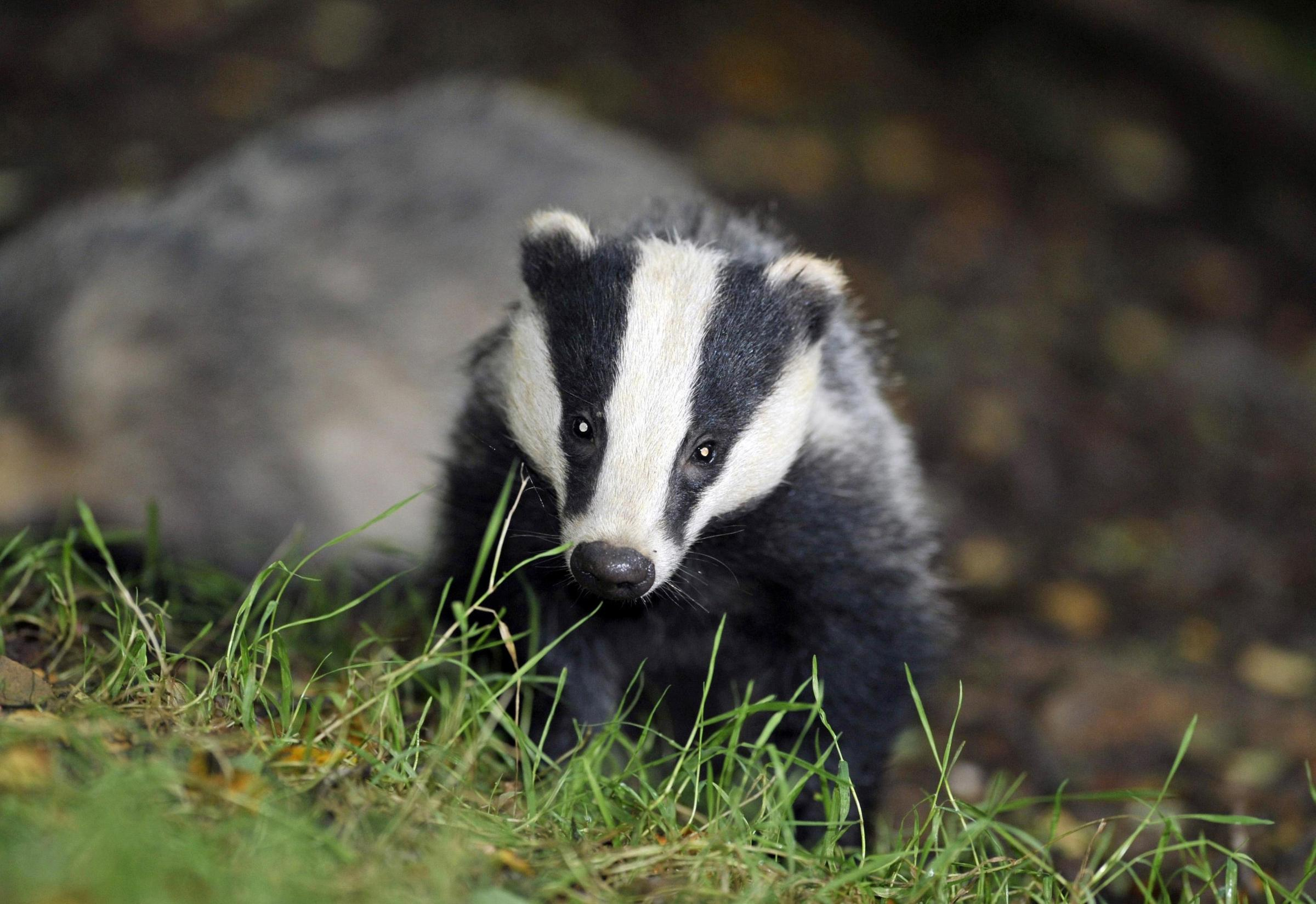 File photo dated 28/07/08 of a badger. A controversial badger cull is one of the measures the Government has considered ahead of an announcement this afternoon about ways to tackle bovine tuberculosis..