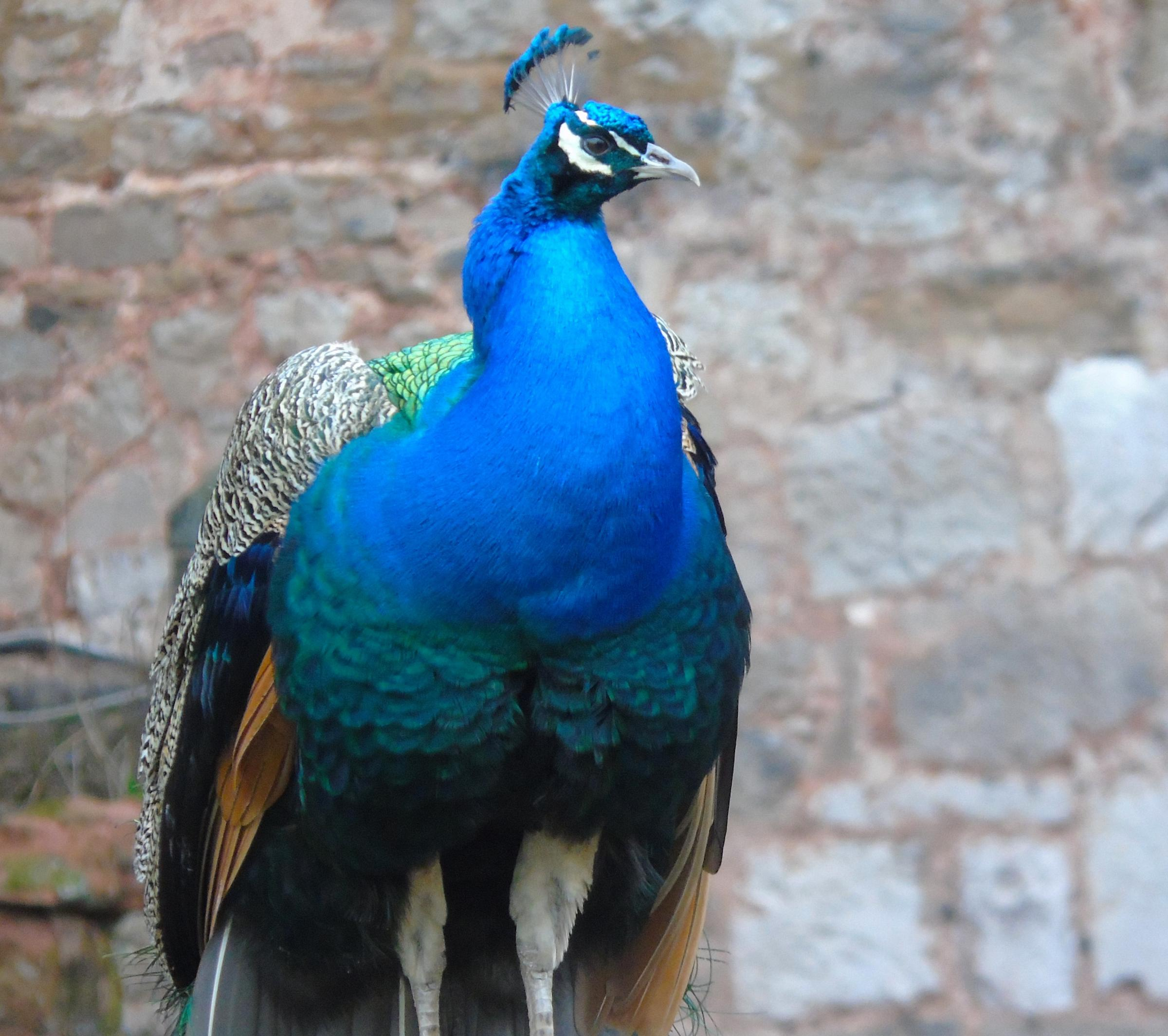 STEPHEN Bromley, from Caia Park, Wrexham, came across this proud peacock on a visit to Ruthin Castle.If you would like to supply an image to be included as the picture of the week, send an e-mail to shaun.davies@newsquest.co.uk