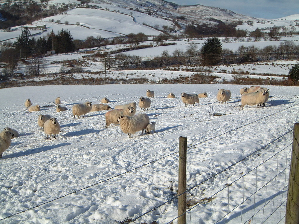 The 'Beast from the East' took its toll on Welsh sheep numbers