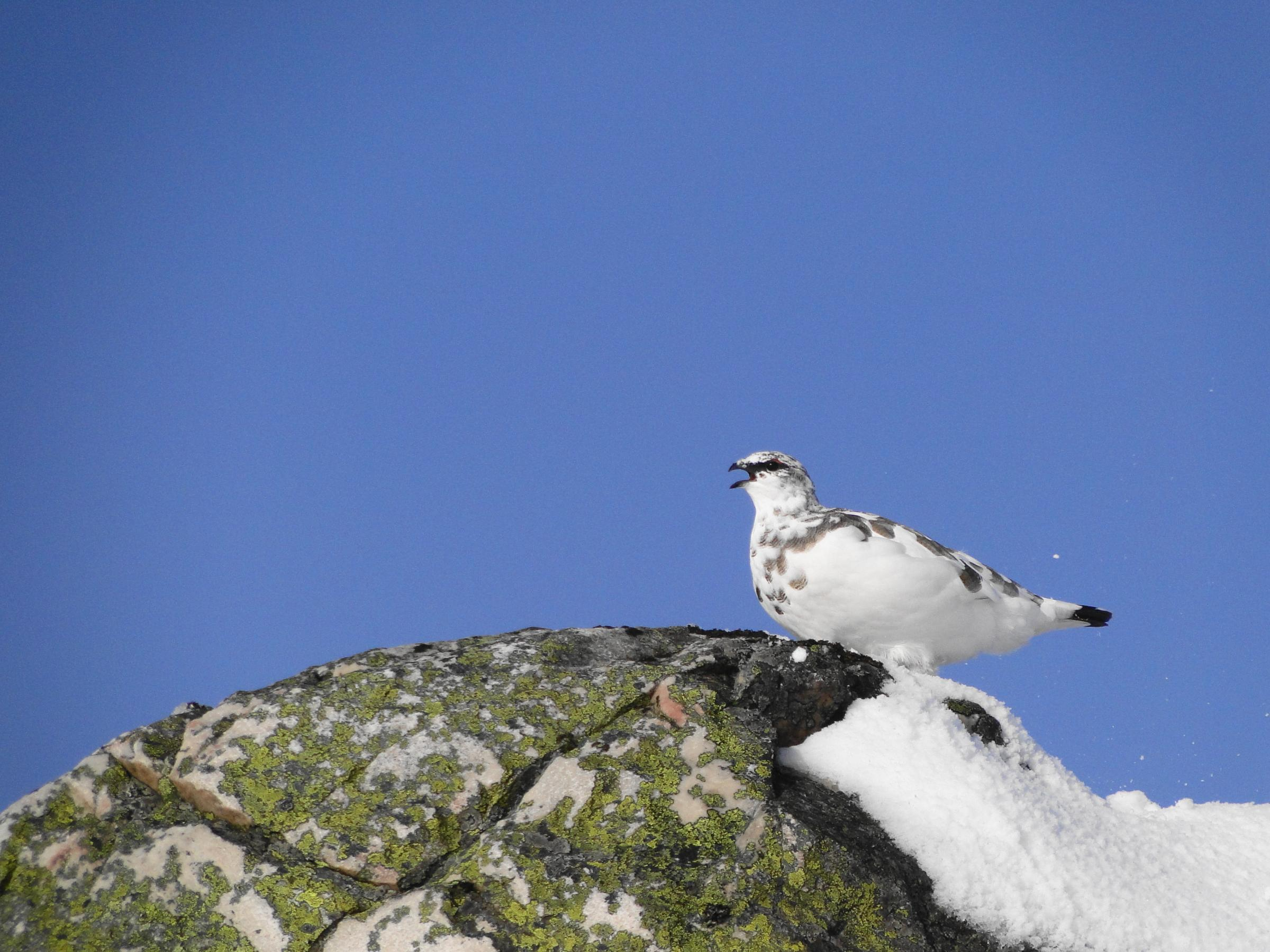 WE are taking flight with our first picture of the week of the New Year.This shot of a Ptarmigan in the Scottish highlands was taken by Ian Jones and it was sent in via e-mail.The Ptarmigan is a plump gamebird and it is exclusively found in the Scottish H