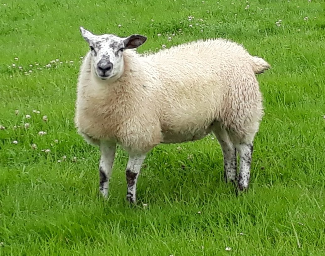 More than 60 sheep have been stolen. Picture: North Wales Police Rural Crime Team