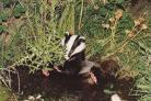 Badger Kippy in a garden pond