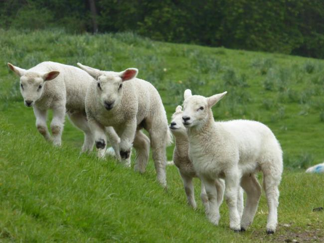 The lambs were in a playful mood' | Denbighshire Free Press